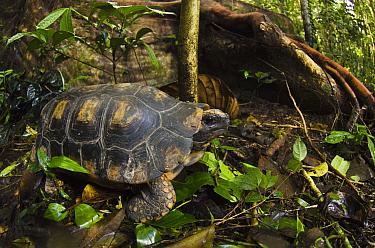 Yellow-footed Tortoise (Geochelone denticulata) in rainforest, Yasuni National Park, Amazon Rainforest, Ecuador  -  Pete Oxford