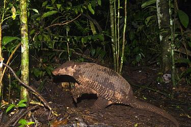 Giant Armadillo (Priodontes maximus) in rainforest, Yasuni National Park, Amazon Rainforest, Ecuador  -  Pete Oxford