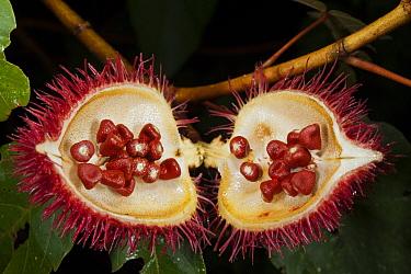 Achiote (Bixa orellana) fruit with seeds, Yasuni National Park, Amazon Rainforest, Ecuador  -  Pete Oxford
