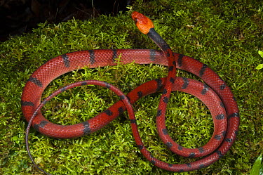 Banded Tree Snake (Tripanurgos compressus), Yasuni National Park, Amazon Rainforest, Ecuador  -  Pete Oxford