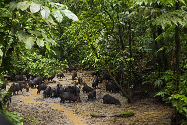 White-lipped Peccary (Tayassu pecari) group foraging in forest clearing, Yasuni National Park, Amazon Rainforest, Ecuador  -  Pete Oxford