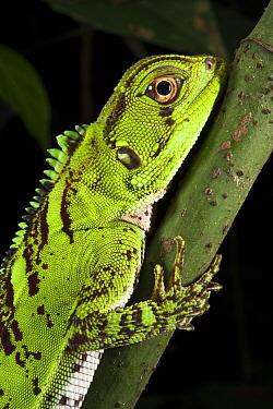 Amazon Wood Lizard (Enyalioides laticeps), Yasuni National Park, Amazon Rainforest, Ecuador  -  Pete Oxford