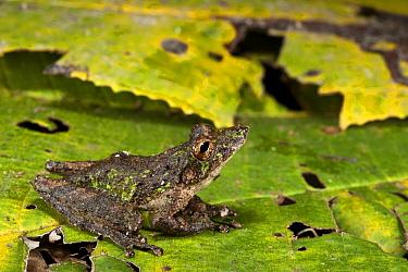 Eirunepe Snouted Treefrog (Scinax garbei), Yasuni National Park, Amazon Rainforest, Ecuador  -  Pete Oxford