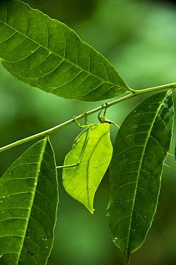 Katydid (Cycloptera speculata) mimicking leaf, Yasuni National Park, Amazon Rainforest, Ecuador  -  Pete Oxford