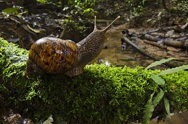 Land Snail (Caracolus sp) in rainforest, Yasuni National Park, Amazon Rainforest, Ecuador  -  Pete Oxford