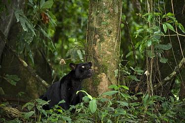 Jaguar (Panthera onca), melanistic dark color phase known as a black panther, Yasuni National Park, Amazon Rainforest, Ecuador  -  Pete Oxford