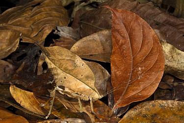 Katydid (Tettigoniidae) camouflaged in leaf litter, Yasuni National Park, Amazon Rainforest, Ecuador  -  Pete Oxford