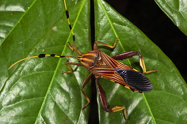 Squash Bug (Coreidae), Yasuni National Park, Amazon Rainforest, Ecuador  -  Pete Oxford