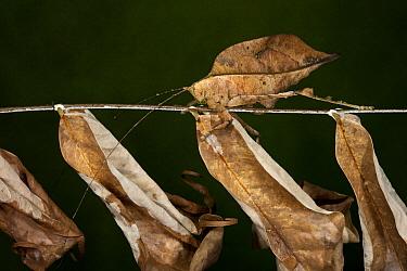 Katydid (Tettigoniidae) mimicking leaf, Yasuni National Park, Amazon Rainforest, Ecuador  -  Pete Oxford