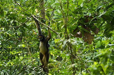 White-bellied Spider Monkey (Ateles belzebuth) and baby hanging from branch, Yasuni National Park, Amazon Rainforest, Ecuador  -  Pete Oxford