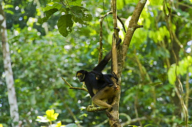 White-bellied Spider Monkey (Ateles belzebuth) mother and baby, Yasuni National Park, Amazon Rainforest, Ecuador  -  Pete Oxford