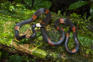 Banded Calico Snake (Oxyrhopus petola digitalis), Yasuni National Park, Amazon Rainforest, Ecuador  -  Pete Oxford