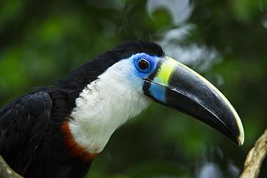 Red-billed Toucan (Ramphastos tucanus), Yasuni National Park, Amazon Rainforest, Ecuador  -  Pete Oxford