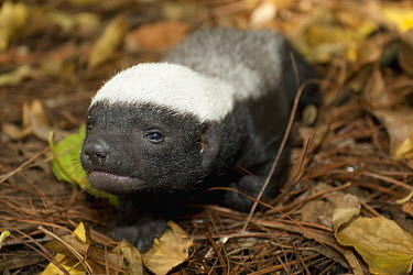 Honey Badger (Mellivora capensis) baby, native to Africa  -  ZSSD