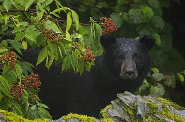 Black Bear (Ursus americanus) portrait, Alaska  -  Michael Quinton