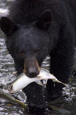 Black Bear (Ursus americanus) with Pink Salmon (Oncorhynchus gorbuscha), Alaska  -  Michael Quinton