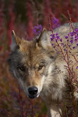 Gray Wolf (Canis lupus) portrait amid Fireweed(Chamerion angustifolium) flowers, Alaska  -  Michael Quinton