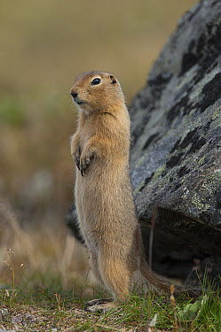 Arctic Ground Squirrel (spermophilus parryii) standing on hind legs, Yukon, Canada  -  Michael Quinton