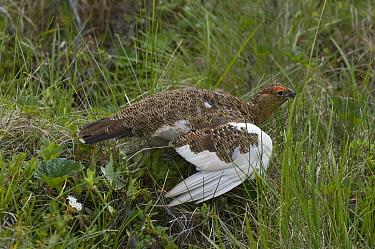 Willow Ptarmigan (Lagopus lagopus) in broken wing display to lure predators away from nest, Alaska  -  Michael Quinton