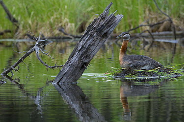 Red-necked Grebe (podiceps grisegena) on nest, Alaska  -  Michael Quinton