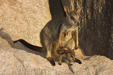 Allied Rock Wallaby (Petrogale assimilis) female with pouched joey sits on granite rock, Magnetic Island, Queensland, Australia  -  Martin Willis