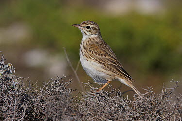 Australasian Pipit (Anthus novaeseelandiae) female, Lincoln Peninsula, South Australia, Australia  -  Martin Willis