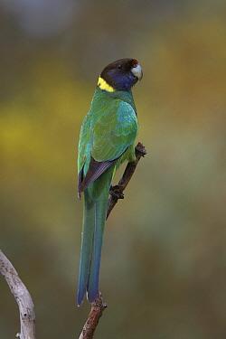 Twenty-eight Parrot (Barnardius zonarius semitorquatus), Darling Range, Western Australia, Australia  -  Martin Willis