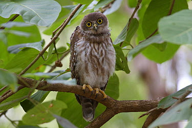 Barking Owl (Ninox connivens) juvenile, Ross River, Townsville, Queensland, Australia  -  Martin Willis