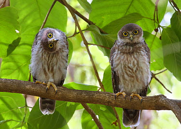 Barking Owl (Ninox connivens) juveniles, Ross River, Townsville, Queensland, Australia  -  Martin Willis