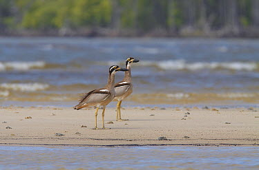 Beach Stone-curlew (Esacus magnirostris) pair on sandbar, Toolakea Beach, Queensland, Australia  -  Martin Willis