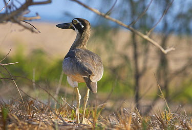 Beach Stone-curlew (Esacus magnirostris) on dunes, Toolakea Beach, Queensland, Australia  -  Martin Willis