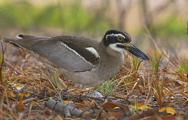 Beach Stone-curlew (Esacus magnirostris) protecting egg, Toolakea Beach, Queensland, Australia  -  Martin Willis