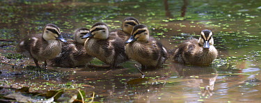 Pacific Black Duck (Anas superciliosa) ducklings bathing in a puddle, Townsville, Queensland, Australia  -  Martin Willis