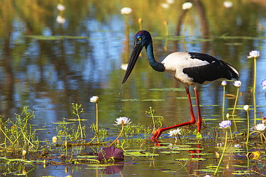 Black-necked Stork (Ephippiorhynchus asiaticus) female foraging in lily lagoon, Kakadu National Park, Northern Territory, Australia  -  Martin Willis