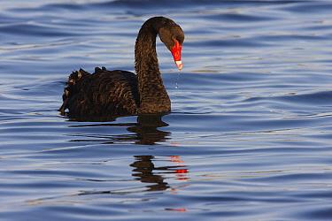 Black Swan (Cygnus atratus) swimming, Mongers Lake, Western Australia, Australia  -  Martin Willis