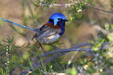 Blue-breasted Fairywren (Malurus pulcherrimus) male showing dark blue breast, Dryandra Woodland State Forest, Western Australia, Australia  -  Martin Willis