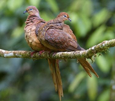 Brown Cuckoo-Dove (Macropygia phasianella) male and female, Atherton Tableland, Queensland, Australia  -  Martin Willis