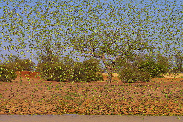 Budgerigar (Melopsittacus undulatus) flock descending to waterhole, Boulia, Queensland, Australia  -  Martin Willis