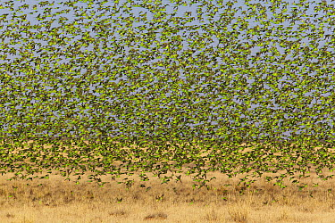 Budgerigar (Melopsittacus undulatus) flock descending to feed on grass, Boulia, Queensland, Australia  -  Martin Willis
