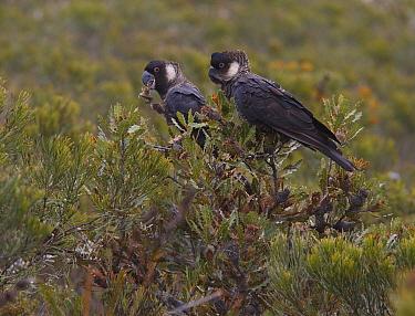 Carnaby's Black Cockatoo (Calyptorhynchus latirostris) feeding, Fitzgerald River National Park, Western Australia, Australia  -  Martin Willis