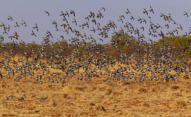 Cockatiel (Nymphicus hollandicus) large flock descending to feed on the grass, Boulia, Queensland, Australia  -  Martin Willis