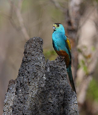 Golden-shouldered Parrot (Psephotus chrysopterygius) male on the termite mound containing its nest, Cape York Peninsular, Queensland, Australia  -  Martin Willis