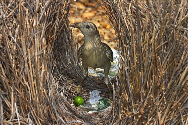 Great Bowerbird (Chlamydera nuchalis) male coating the inside of the bower with fruit pulp, Townsville, Queensland, Australia  -  Martin Willis