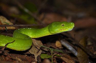 Green Tree Python (Morelia viridis), Iron Range, Cape York Peninsular, Australia  -  Martin Willis