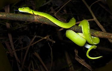 Green Tree Python (Morelia viridis) coiled around tree branch, Iron Range, Cape York Peninsular, Australia  -  Martin Willis