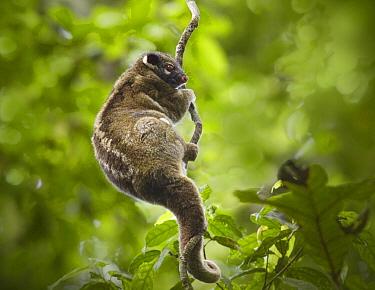 Green Ringtail Possum (Pseudochirops archeri) climbing vine, Atherton Tableland, Queensland, Australia  -  Martin Willis