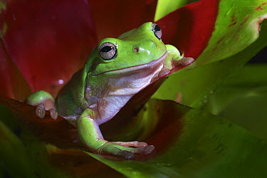 White's Tree Frog (Litoria caerulea) peering out from bromeliad, Townsville, Queensland, Australia  -  Martin Willis