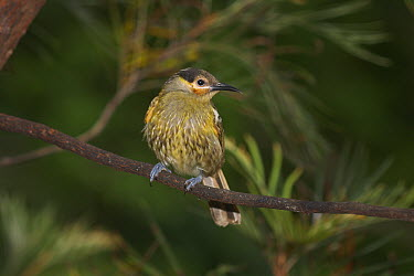Macleay's Honeyeater (Xanthotis macleayanus), Atherton Tableland, Queensland, Australia  -  Martin Willis
