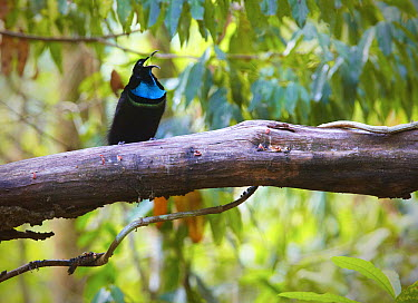 Magnificent Riflebird (Ptiloris magnificus), Iron Range, Cape York Peninsular, Australia  -  Martin Willis