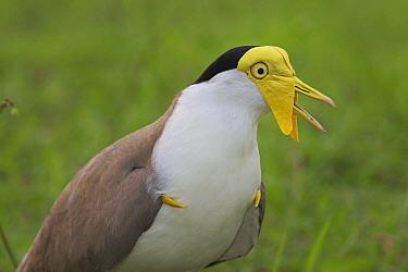 Masked Lapwing (Vanellus miles), Magnetic Island, Queensland, Australia  -  Martin Willis